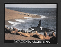 ANIMAUX - ANIMALS - ORCA KILLER WHALE ORCINUS ORCA - PATAGONIA ARGENTINA - FOTO ALBERTO PATRIAM - Animaux & Faune