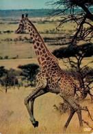 Faune Africaine Une Girafe CPM Ou CPSM - Girafes