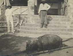 Carte Photo L' Hippopotame Du Libéria Ou Petit Hippopotame De Brousse Photo Prise à Soubré - Hippopotames