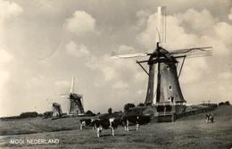 Leidschendam,  Windmills, Bovenkruiers,Cows, Real Photo - Watermolens