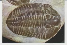 Postcard - Carapace Or Shell Of The Trilobitee Calemene Blumenbachi Brongniart. Card No..c111  - Unused Very Good - Postcards
