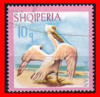 ALBANIA (SHQIPERIA) AÑO 1967 EL PELÍCANO DÁLMATA. PELECANUS CRISPUS - Albanie