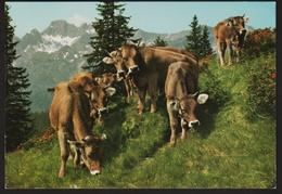 Allgäuer Alpvieh Kühe  -  Ansichtskarte  Ca. 1978   (815) - Vaches