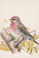 159. BUZIN. LE SIZERIN FLAMME - Oiseaux