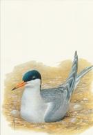 138. BUZIN. LE STERNE PIERRE GARIN - Oiseaux