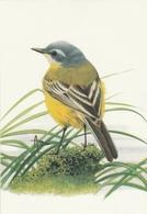 142. BUZIN. LA BERGERONNETTE PRINTANIERE - Oiseaux