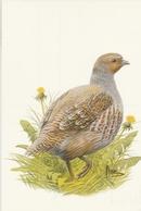 176. BUZIN. LA PERDRIX GRISE - Oiseaux