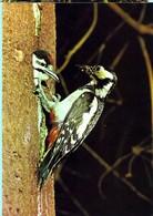 Buntspecht - Vögel