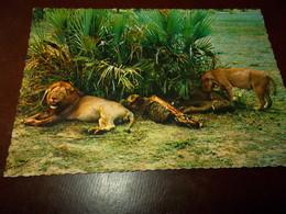 B716  Leone Non Viaggiata - Lions