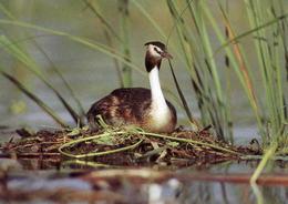Podiceps Christatus (wv541) - Birds
