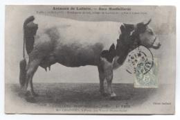 THEMES - VACHES - ANIMAUX DE LAITERIE - RACE MONTBELIARDE - VOIR ZOOM - Vaches