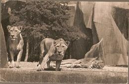 France ** & Postal, Paris, Parc Zoologique De Vincennes, Lion Et Lionnes Sur Leur Plateau (153) - Lions