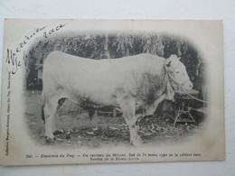 MEZENC  Taureau De Race Bovine 1901  Precurseur - France