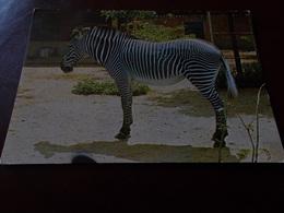 B716  Zebra Non Viaggiata - Zebre