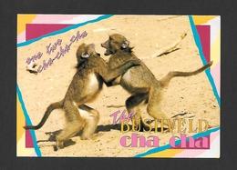 ANIMAUX - ANIMALS - HUMOUR - SINGES - MONKEYS - CHACMA BABOONS - ONE TWO CHA - CHA - CHA - THE BUSHVELD CHA CHA - Singes