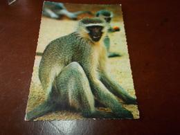 B717  Cercopiteco Verde Scimmia Non Viaggiata - Orsi