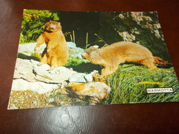 B717  Marmotta Non Vaiggiata - Animali