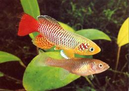 Nothobranchius Spec (09) - Pescados Y Crustáceos