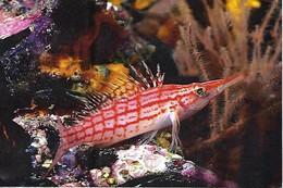 Oxycirrhites Typus (37) - Pescados Y Crustáceos