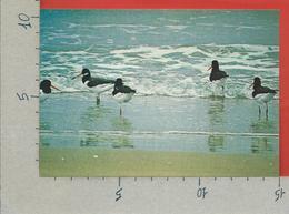 CARTOLINA NV ITALIA - CIRCEO - AZIENDA DI STATO FORESTE DEMANIALI - Beccaccia Di Mare - Haematopus Ostralegus - 10 X 15 - Uccelli