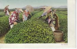 CPA JAPON - JAPAN ( Asie ) - TEA PICKING - Non Classés