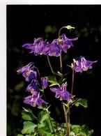 Ancolies , Photo R Laxganger - Fleurs