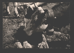 Troupeau Savoyard - Kuh / Vache / Cow / Koe - Vaches