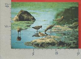 CARTOLINA NV ITALIA - CIRCEO - AZIENDA DI STATO FORESTE DEMANIALI - Piovanello Calidris Ferruginea - 10 X 15 - Uccelli