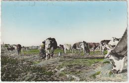 DAV :  Vendée :  SAINT  MICHEL En  L ' HERM , La  Traite Sur Le  Pré  Des  Vaches - Saint Michel En L'Herm