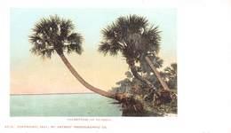 A-19-2560 :  PALMETTOES OF FLORIDA. - Etats-Unis