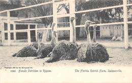 A-19-2565 :  AUTRUCHES. . OSTRICHES.FEMALE OSTRICHES IN REPOSE. THE FLORIDA OSTRICH FARM JACKSONVILLE - Jacksonville