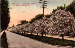 New York Rochester Oxford Street Magnolias In Blossom 1908 - Rochester