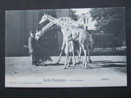 AK ANVERS Antwerpen ZOO Tiergarten Girafes Ca.1900 ///  D*36960 - Antwerpen
