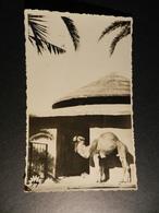 19887) DROMEDARIO IN PIEDI FORSE ZOO NON VIAGGIATA 1935 CIRCA - Animali