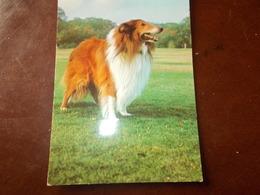 B636  Cane Non Viaggiata - Cani