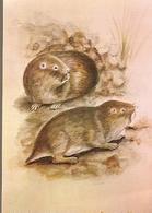 Mozambique & Mammals Of Mozambique, Rodent, Cryptomys Hottentotus, Gray, Chimoio 1983 (1864) - Mozambique