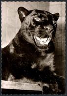 C3062 - Dresden Panther - Tierpark Zoo Zoologischer Garten Tiergehege -  Fritz Hunger - Altri