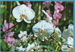L'ILE DE LA REUNION - Orchidée Phalaenopsis - Fleurs