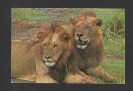 ANIMAUX - ANIMALS - HUMOUR - LIONS - LIONS RELAXING AFTER A HEAVY MEAL - PHOTO BY CHANDU & RAVI - Lions