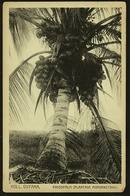 Holl. Guyana  -  Kokospalm  -  Plantage Morgenstond  -  Ansichtskarte Ca.1910    (9918) - Surinam
