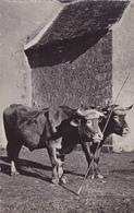 CPSM 23 @ CREUSE - Paire De Boeufs Accouplés - 2 Vaches Du Coin - France