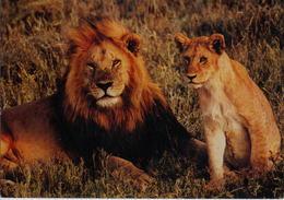 Panthera Leo  (Z25) - Lions