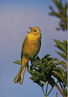 Emberiza Citrinella (428) - Oiseaux
