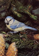Cyanistes Caeruleus, Parus Caeruleus (404) - Birds