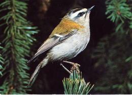 Regulus Ignicapillus (406) - Birds