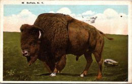 New York Buffalo American Bison Or Buffalo 1922 - Buffalo