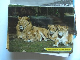 Leeuwen Lions Löwen Arnhem Burgers Zoo - Leeuwen