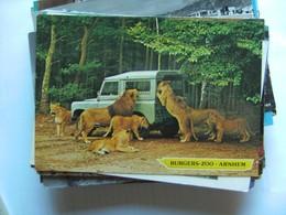 Leeuwen Lions Löwen Arnhem Burgers Zoo Safari With Car - Leeuwen