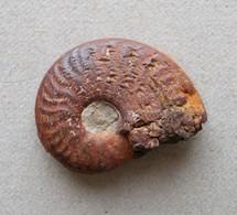 - Ammonite Fossilisée. 4g - - Fossiles