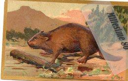 Chromo Image école Gauffré 1890/1910 Animaux Castor - Vieux Papiers
